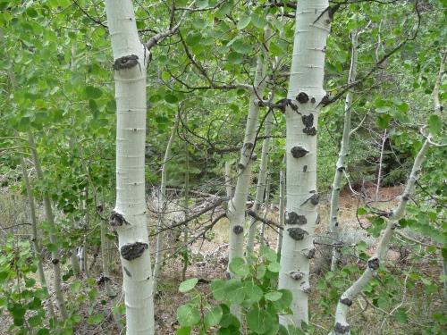 Aspen Trees near Twin Lakes