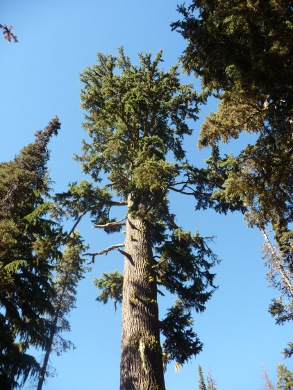 Crater Lake_Tree