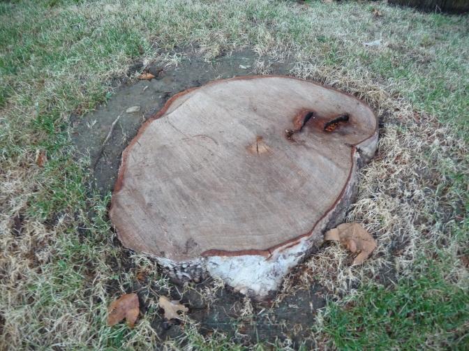 Sycamore Stump