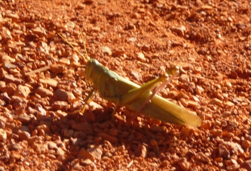 Zion_Watchman Campground_Grasshopper_1