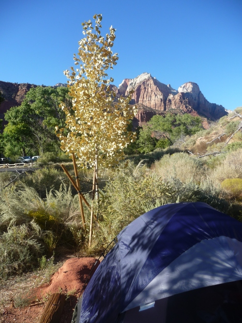 Zion_Watchman Campground_Ginkgo Biloba Tree_1