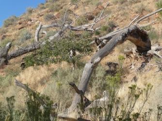 Zion_Watchman Campground_Fallen Trees_1