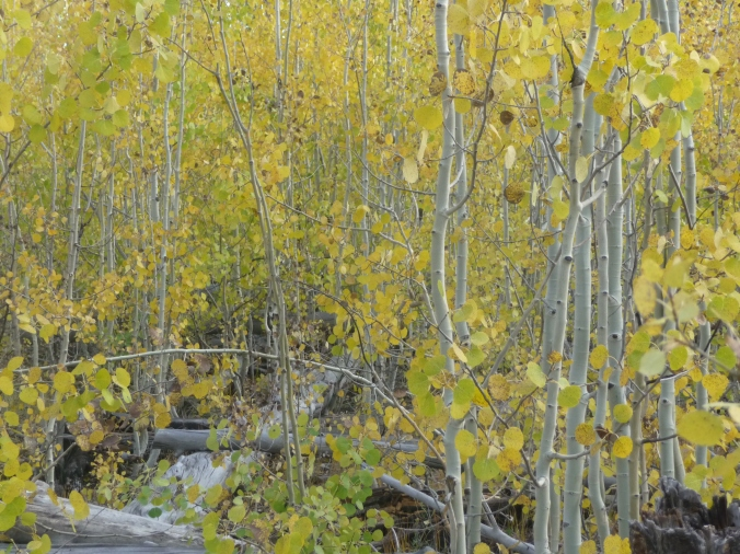Grand Canyon_North Rim_Aspen Trees_1