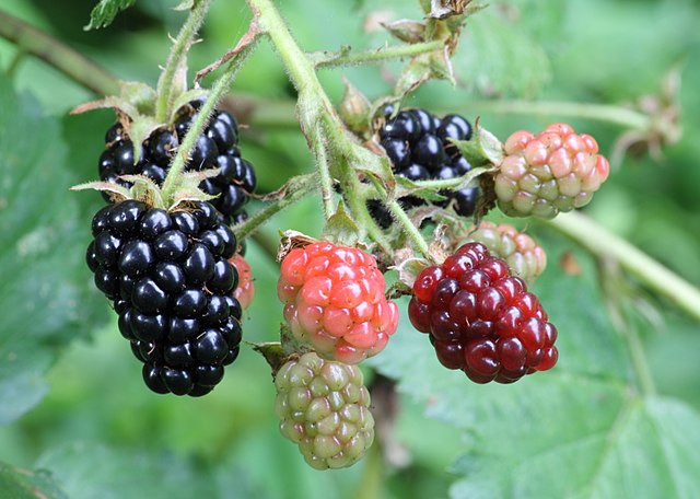 640px-Ripe,_ripening,_and_green_blackberries