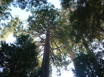 Sequoia NF_Redwood Campground_Trees_1