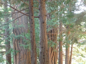 Sequoia NF_Redwood Campground_Trees_2