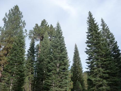 Lassen_Manzanita Lake_Treetops_1