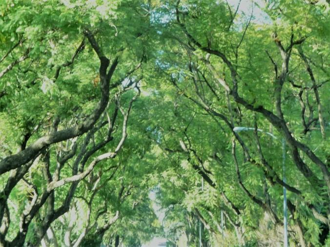 Green Jacaranda Canopy