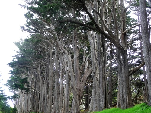 James V. Fitzgerald Marine Reserve_Cypress Grove_1
