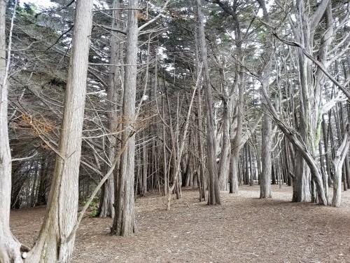 James V. Fitzgerald Marine Reserve_Cypress Grove_Marked Trees_1