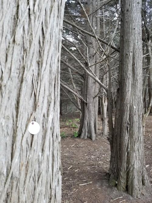 James V. Fitzgerald Marine Reserve_Cypress Grove_Marked Trees_3