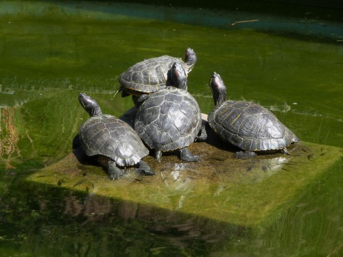 Pile of Turtles