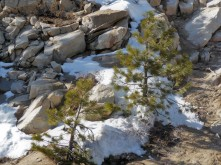 Pine Trees at Snowline