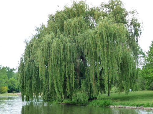 Willow Tree_Turning Back On Inclement Weather