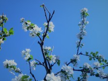 White Buds_Arctic