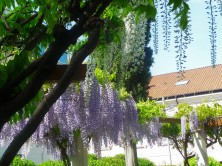 Croatian Wisteria