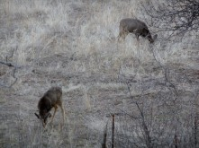 Deer Stalker_2