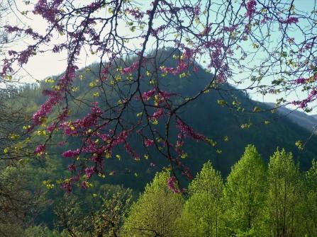 Tuscany Pink Buds