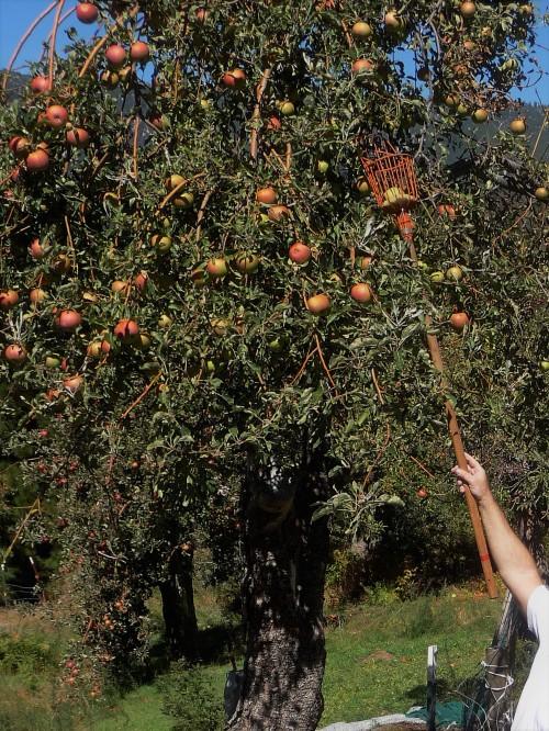 Apple Picking_1