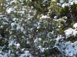 Snow on Bushes