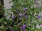 Butterfly_9