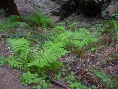 Fall Creek_Ferns Ferning