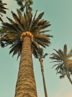 LA_Palm Trees