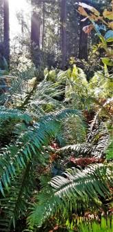 Redwood Parks_12