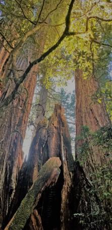 Redwood Parks_2