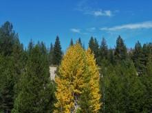 Lassen Trees_1
