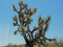Joshua Tree Plea_4