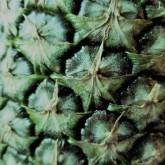 Pineapple Eyes_Green