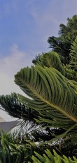 Tree_Fronds