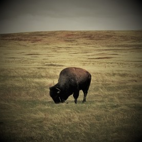 Wind Cave_Grazing Bison